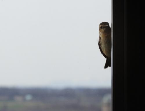 小さな野鳥(ヒタキ)の眼差し