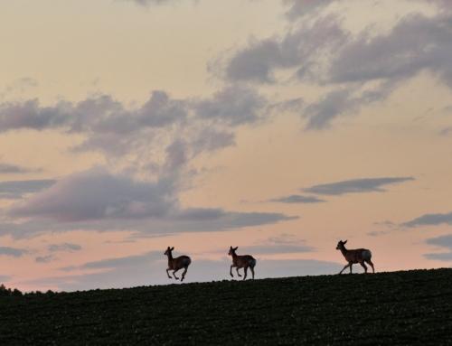 夕焼けに舞うエゾシカ(北の大地の動物)